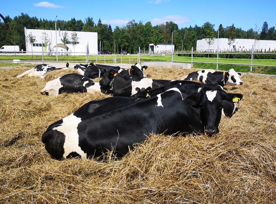 Коровы Фермы М2 Шульгино на свободном выгуле